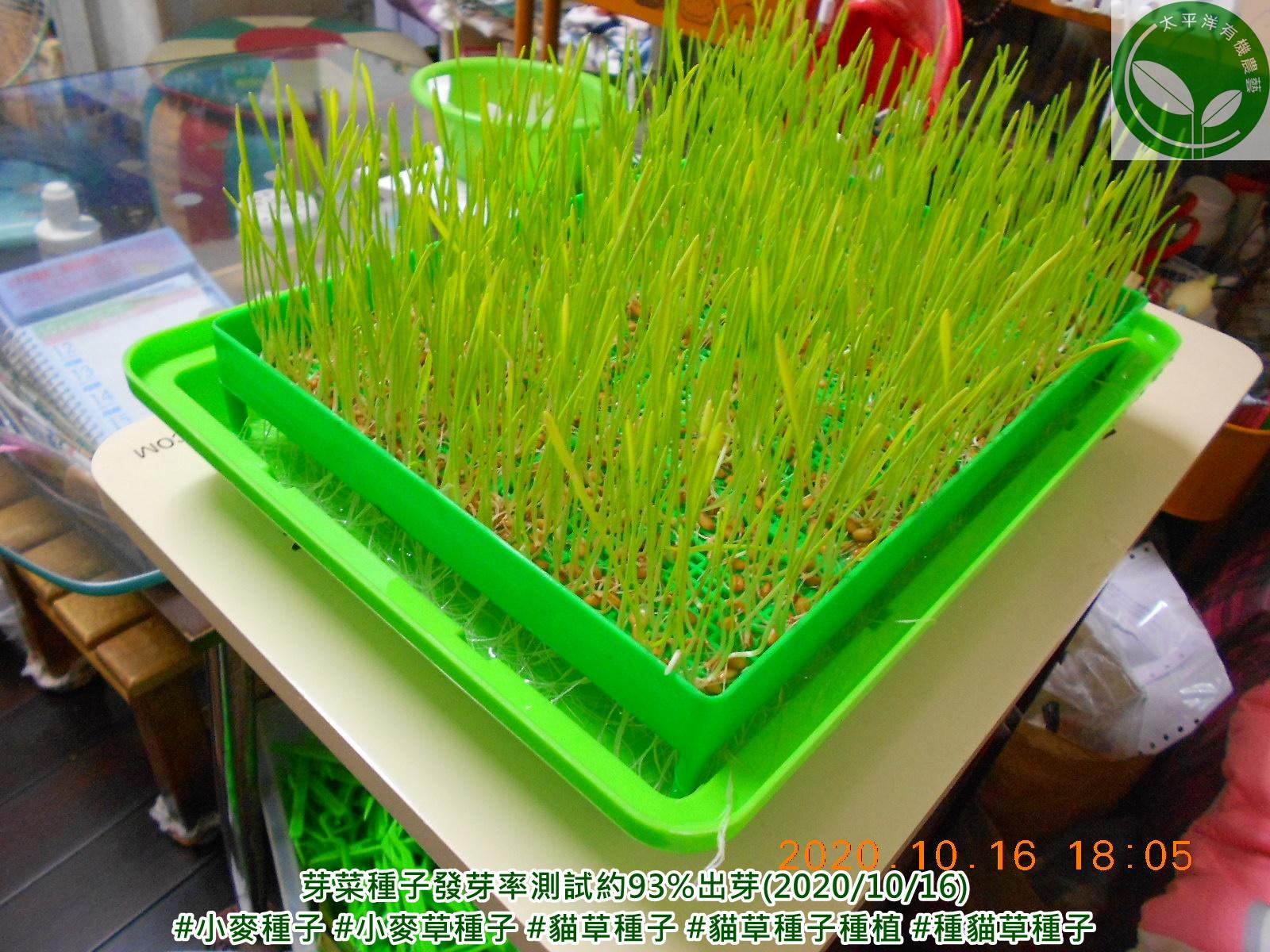 小麥,貓草,種貓草,如何種貓草,貓草水耕,小麥草蝦皮,貓草包diy,貓草怎麼種,自己種貓草,貓草種植