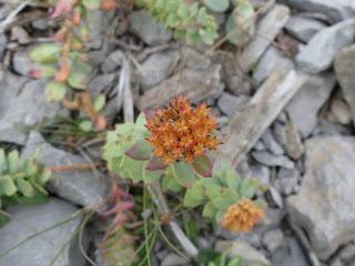 Orpin rose - Rhodiola rosea