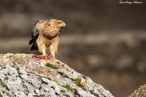 Águila imperial (ejemplar joven)