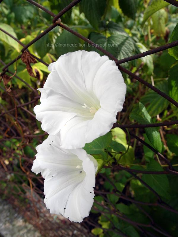 In nome dei fiori: Campanella bianca e rampicante