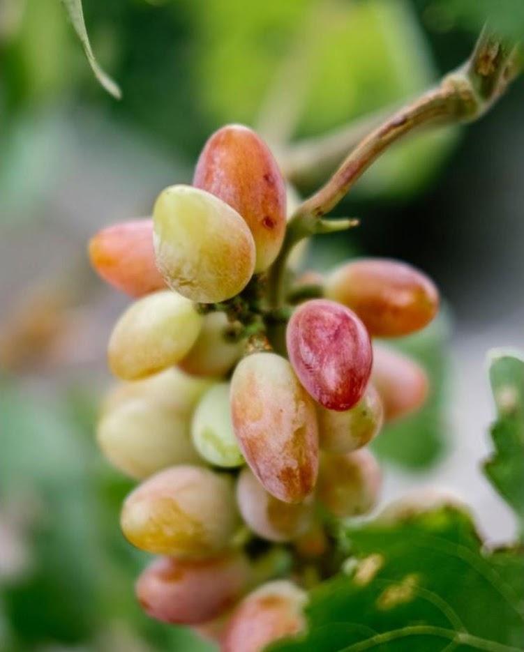 bibit anggur import new baikonur genjah Tegal