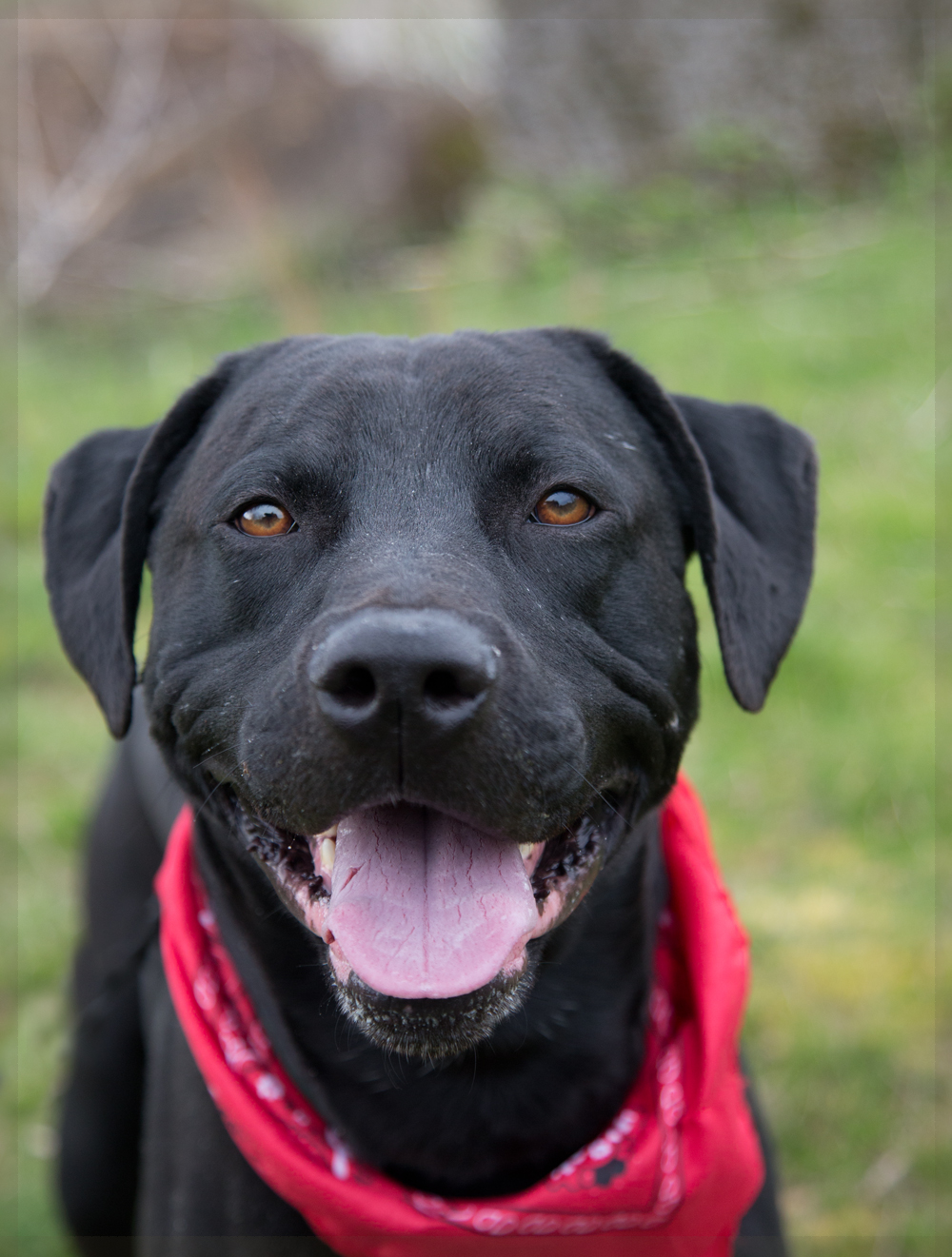 shelter dogs of portland quotchicoquot black labpitbull mix