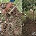 SOP Pembajaan Pokok Durian Berusia 1 Tahun