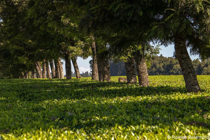 Tea Field Volunteering in Kenya with Freedom Global