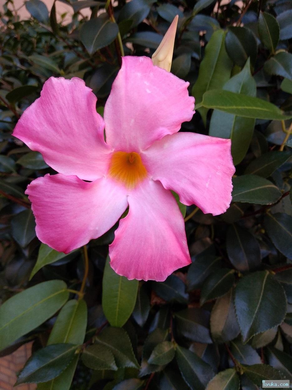 サンパラソル・ジャイアントの花