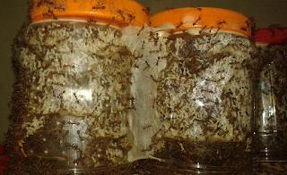 Ternak Semut Rangrang Yang Menjanjikan