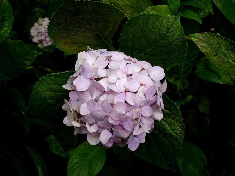 Koleksi Tanaman Hias Tanaman Bunga Hortensia  Bunga