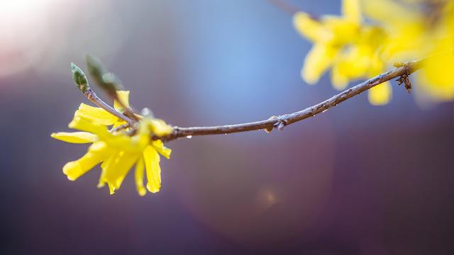 Papel de Parede Flor Amarela da Primavera, Foto, Close Up, hd, 4k.