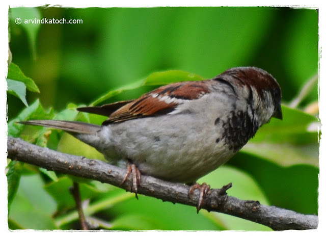 House Sparrow, Male, Himachal Pradesh