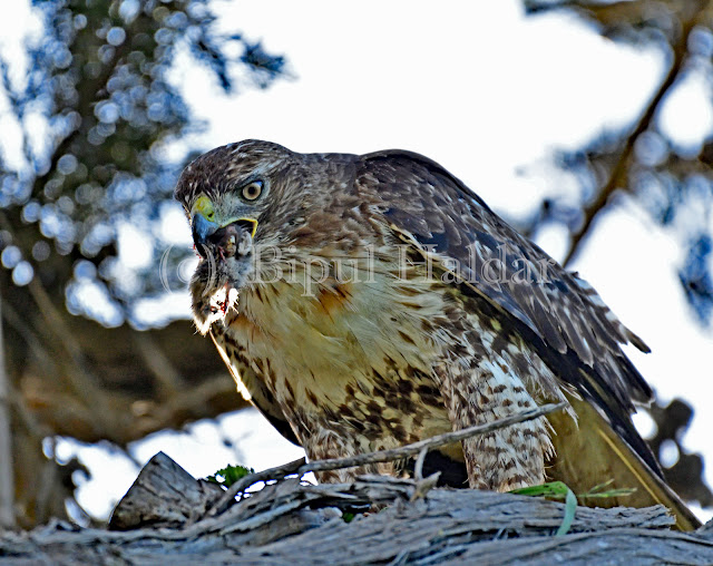 Hawk Swallowing a Rat