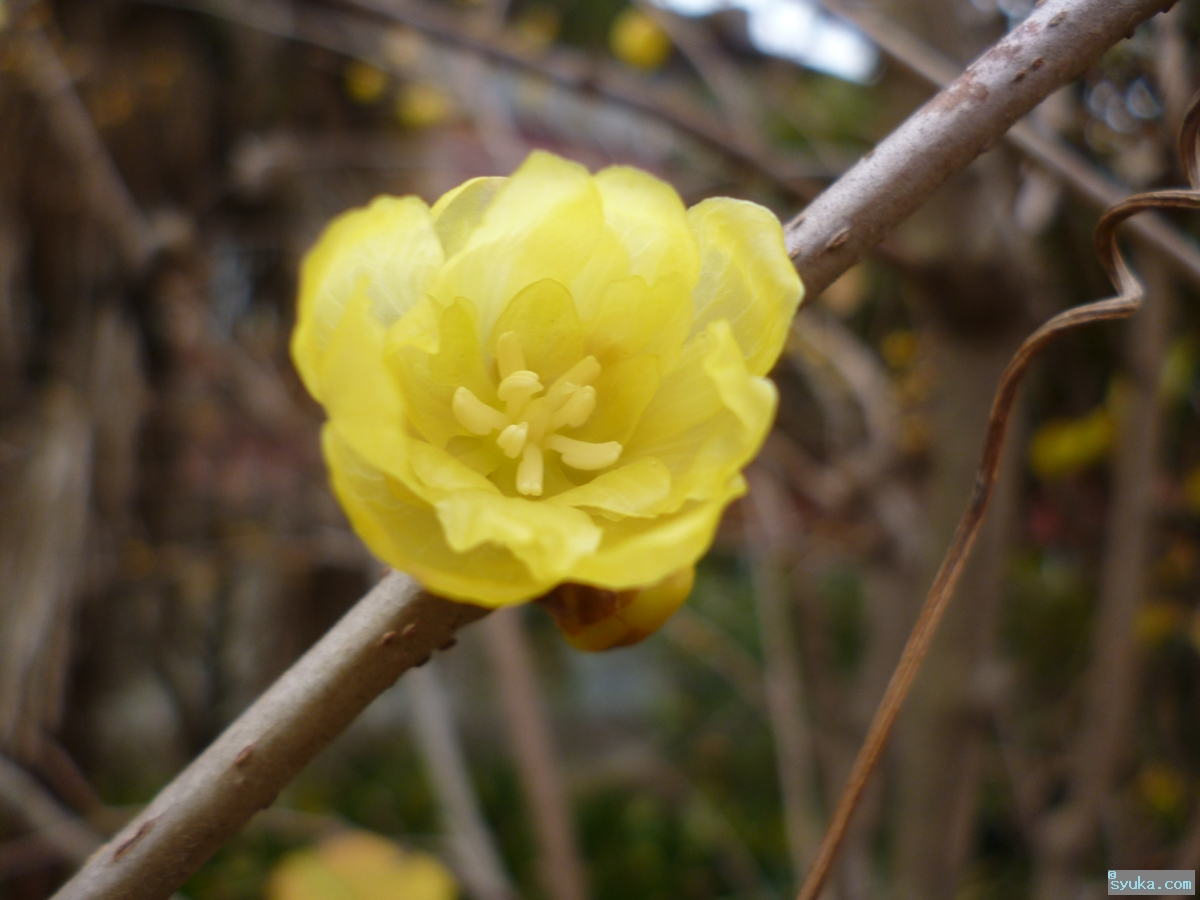 素心蝋梅の花