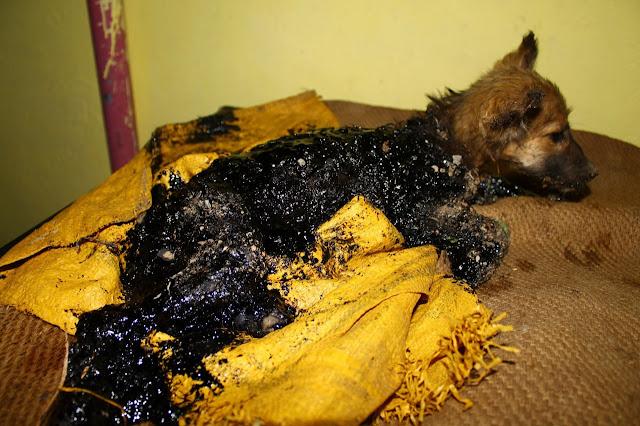 В Индии мальчик нашел 3-месячного щенка, завязшего в гудроне.