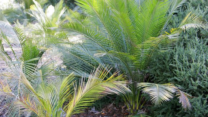 Genus Macrozamia, macrozamia fruit, macrozamia riedlei, macrozamia lifespan, macrozamia toxins, macrozamia moorei, macrozamia lower classifications, macrozamia macdonnellii, macrozamia wa