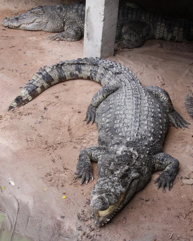 Крокодил в Паттайе