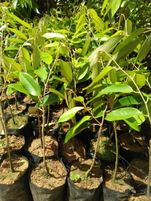 Bibit Durian Musangking Hasil Okulasi Cepat Berbuah Blitar