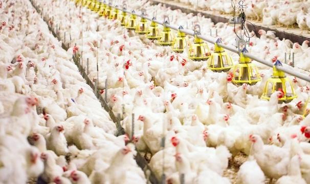 Cara Ternak Ayam Broiler dari Pakan sampai Perawatan Kandang yang Dapat Anda Praktikan