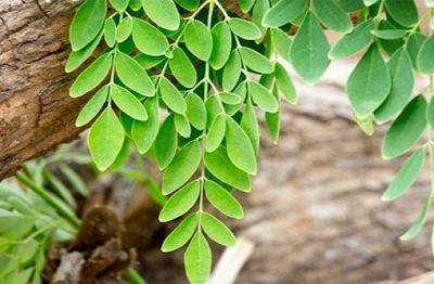 khasiat dan manfaat daun kelor