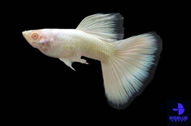 Ikan Guppy Albino Tipe