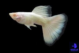 Ikan Guppy Tipe Albino