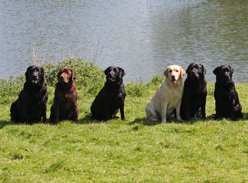 ladrador puppy price in rudrapur, ladrador puppy sale rudrapur, ladrador puppy Purchase rudrapur, ladrador dog purchase rudrapur, labrador dog sale uhdam singh nagar