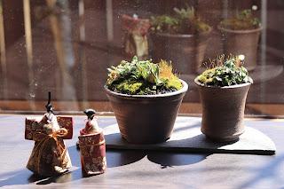 長半月の陶盤にのった小さな鉢盆栽二つと立雛