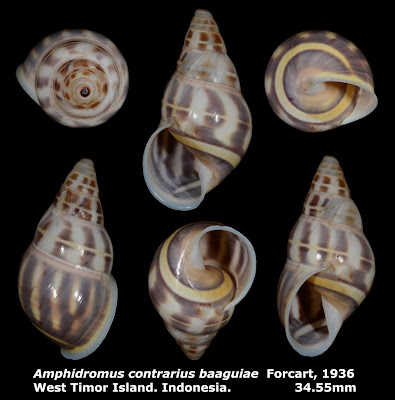 Amphidromus contrarius baaguiae 34.55mm