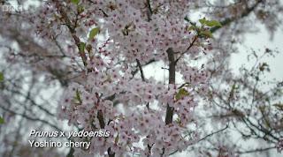 Yoshino Cherry Prunus X Yedoensis