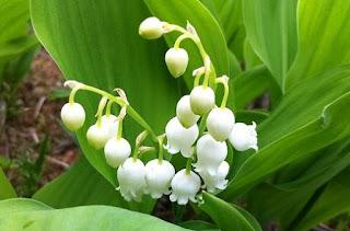 Lily of The Valley : Tanaman Hias Yang Cantik, Mahal Namun Mematikan