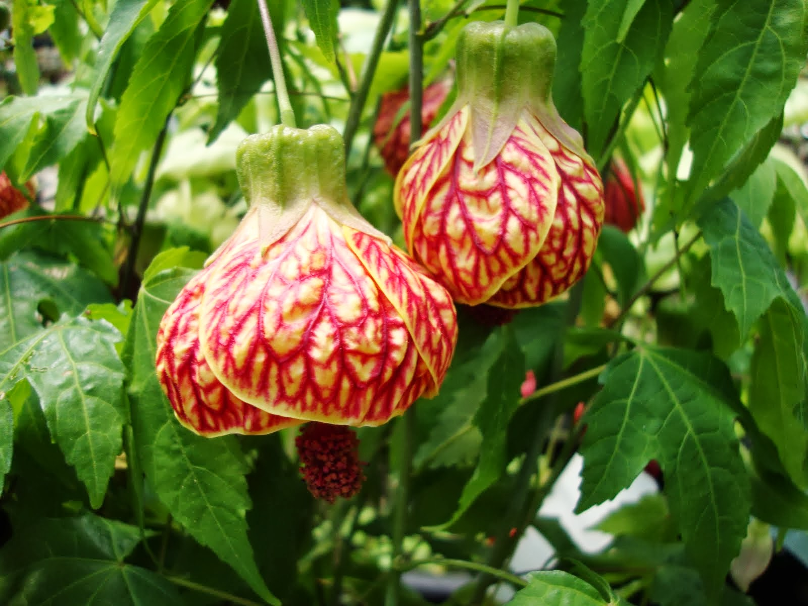 Abutilon Flower Flower Coloring