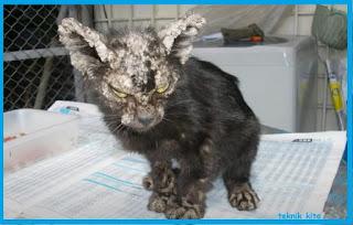 Penyakit kulit pada kucing dan cara mengobati