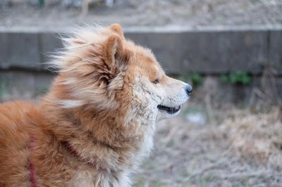 近所のライオン犬