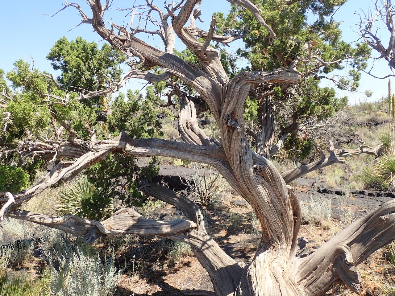 Juniperus monosperma
