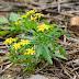 Plantes - Asteraceae partie 3