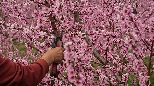 Spring pruning for flowering trees is determined by when they flower