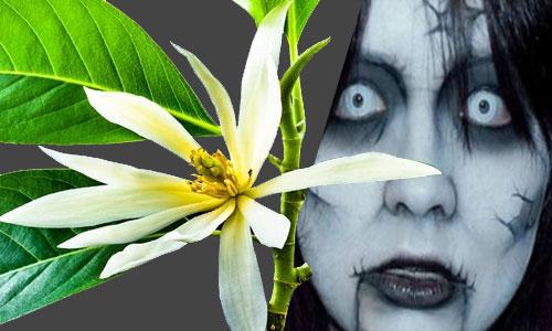 Misteri Bunga Kantil Cempaka Putih Jadi Favorit Makhluk Halus