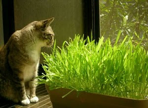 jual-cat-grass.jpg