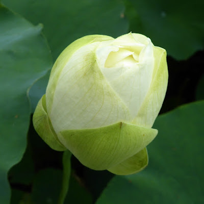 花博記念公園鶴見緑地 蓮の花