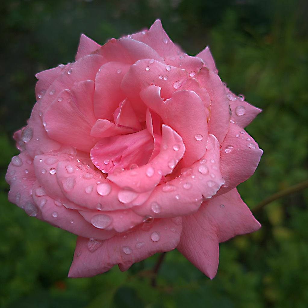 Huawai P20 – Rose im Regen
