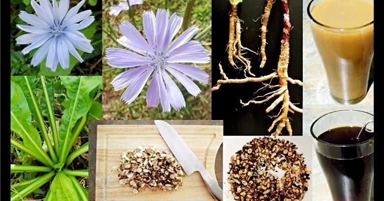 ما هو نبات الهندباء وما هي فوائد نبات الهندباء الطبية