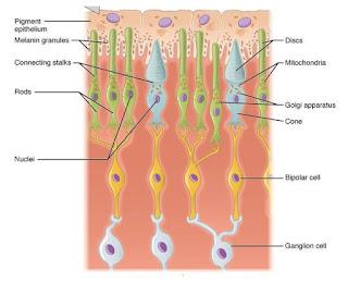 Sel batang dan sel kerucut