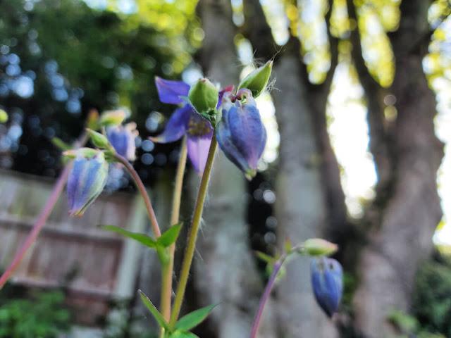 Deep purple Aquilegia vulgaris flower heads