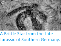 https://sciencythoughts.blogspot.com/2012/06/brittle-star-from-late-jurassic-of.html