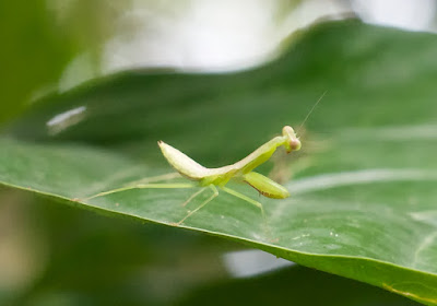 mantid nymph