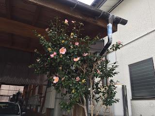 山茶花(サザンカ)の花