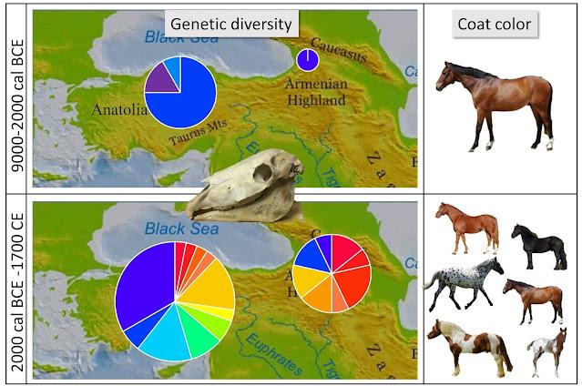 Domestic horses probably did not originate in Anatolia