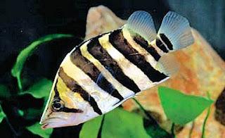 Cara Membudidayakan Ikan Predator Datz ?