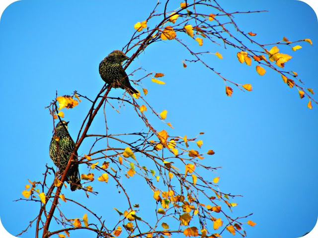 Starlings in an autumn tree