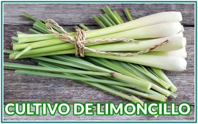 Conoce sobre el cultivo de Limoncillo