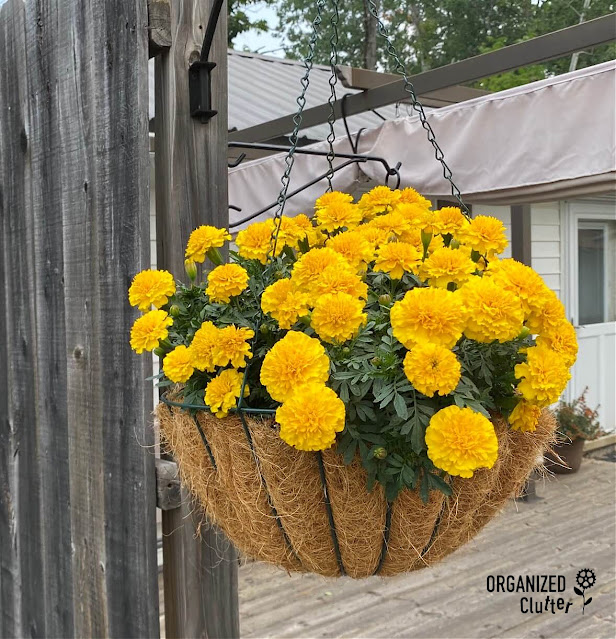 Photo of a hanging basket of marigolds