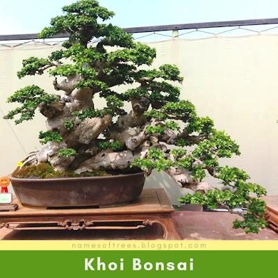 Khoi Bonsai